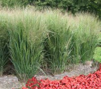 Panicum virgatum is renowned for its upright steely coloured blue-grey to blue-purple leaves.