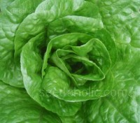 Packed with tender, deep green leaves 'Parris Island' is more nutritious than other lettuce and a gourmet favorite.