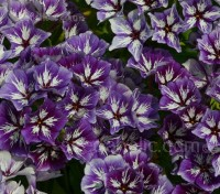 A confection of purple-blue and white clustered blooms