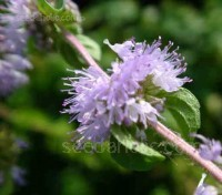 Pennyroyal has attractive whorls of lilac-blue flowers appear in mid to late summer, held above the foliage on stout stems.
