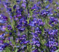 Penstemon barbatus 'Twizzle Blue'