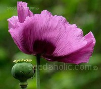 'Pepperbox' poppies are one of the easiest ways to add a bit of architecture, and a lot of colour to your garden.