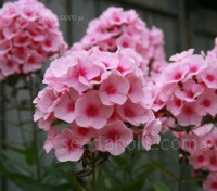 Tall garden phlox are a beauty to behold. Phlox Hybrids Mix is a perennial, cultivated strain.