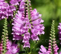 The Obedient Plant has flowers can be twisted around the stem and will remain where you put them...hence, the common name!