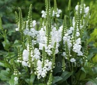 This oddly named perennial is perfect for the middle of a mixed or herbaceous border in sun or partial shade.