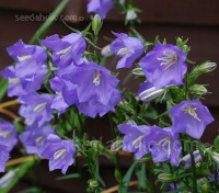 Campanula persicifolia is an old-fashioned cottage garden flower of great charm.