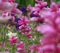Salvia viridis 'Pink Sundae' produces spires of flowers, that are encased in very showy, clearly-veined, intense pink bracts.