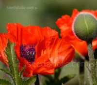 One of the most popular Poppies in Europe, Pizzicato is an incredibly profuse, dwarf Oriental type.