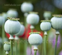 Papaver somniferum 'The Giant'