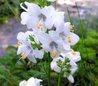 Polemonium caeruleum album