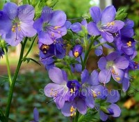The lovely Polemonium is an easy perennial to grow and is a very attractive plant for a border.