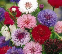"""Dwarf Polka Dot Mix"" blooms in a wonderful range of shades and colours, from white to pale pink and blues, thru to purples and plums, some are bi-colours."