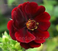 """Of all garden Potentillas, """"Monarchs Velvet""""this must surely be one of the most attractive"""