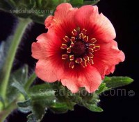 """""""Miss Willmott"""" is a delicious variety of the good tempered herbaceous cinquefoils"""