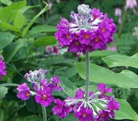 Primula beesiana is long-lived and one of the species known as candelabra primroses.