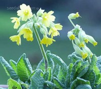 Primula veris is one of the most striking native primula species, best grown in groups especially if naturalised in grass.