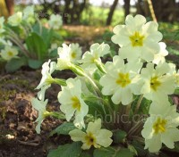 The pale yellow, single primrose is one of the early signs of spring, coinciding with the first early daffodils.