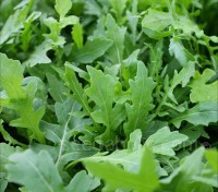 Rocket, Salad Rocket 'Pronto'