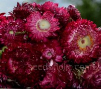 Deep purple-red blooms are held atop strong multi-branching bright green stems.
