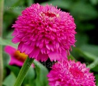 Zinnia are extremely easy to grow from seed and are the perfect flower for beginners.