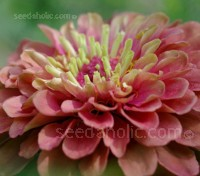 Zinnia elegans 'Queen Red Lime'. There is no other flower on the market quite like it.