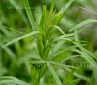 The herb Tarragon has a spicy characteristic with anise-like qualities