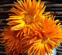 Calendula officianalis 'Radio'