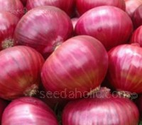 Onion 'Red Creole'