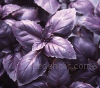 Basil 'Red Rubin' is a purple version of Italian large leaf basil, distinguished from other purple basils by its sweeter aroma and flavour