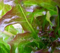 Cocarde is a very adaptable lettuce which can be grown in most climates and seasons.
