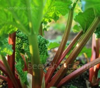 Rhubarb Champagne is easy to grow, reliable and early. It is one of the best varieties for both experienced and new gardeners.