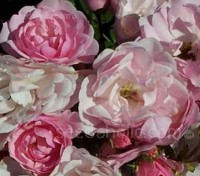 "Rosa chinensis ""Angel Rose"""