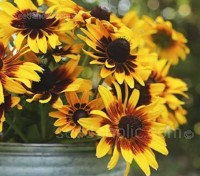 'Denver Daisy' has large, golden daisies with chocolate brown centres and marks at the base of each petal.