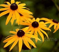 Rudbeckia Goldsturm form a bushy, upright clumps with a profuse display of flowers.