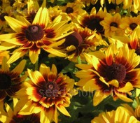 Rudbeckia 'Autumn Colours' produces spectacular, single and semi-double, large daisy-like blooms with a vibrant mix of oranges with deep brown and red markings.