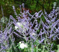 Russian Sage is one of the great garden plants of all time. 'Taiga' is the first available as a first year flowering perennial.