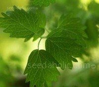 Burnet or Salad Burnet is one of those wonderful old-fashioned herbs, the leaves have a subtle cucumber flavour,