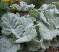 Salvia argentea is prized for its spectacular, large, furry silver-grey leaves.