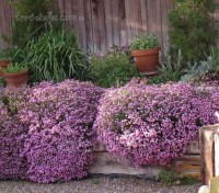 Saponaria is a superb flowering, pretty little plant that makes a low carpet for ground cover or for rock features.