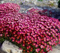 Known as moss saxifrage because of the appearance of their densely packed leaves.