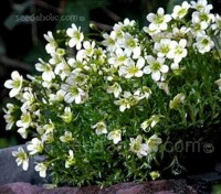 "Saxifraga x arendsii ""Spring Snow"" are compact, free-flowering plants that and easily raised from seed."