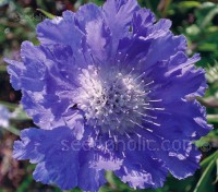Scabiosa 'Goldingensis' is ideal for borders and prized as a cut flower, a popular choice with both gardeners and florists