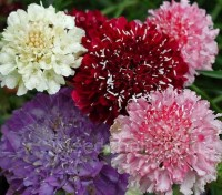 Scabiosa atropurpurea is one of the longest-flowering and most glamorous of hardy annual flowers that you can grow from seed.