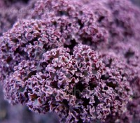 'Scarlet Curled' Kale is a highly attractive and ultra-hardy variety