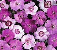 Dianthus plumarius 'Single Flowered Mix' blooms with elegant single flowered blooms, 3 to 4cm (1½in) wide.