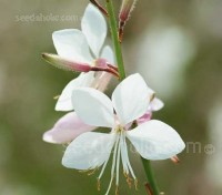 Gaura lindheimeri 'Sparkle White' has a neat, compact habit and produces a flurry of dazzling white, starry blooms on graceful slender stems.