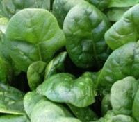 Spinach 'F1 Banjo' is an outstanding, modern, semi-savoy variety.
