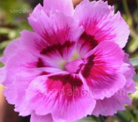 Dianthus plumarius 'Spring Beauty' bloom with large informally semi-double and voluptuously double blooms.