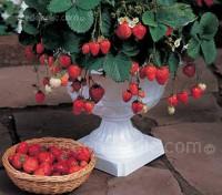 Strawberry 'Temptation'