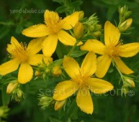 Native to Europe and Asia is a shrubby perennial plant with cheery bright yellow flowers.